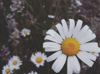 Daisy by Creating--Memories
