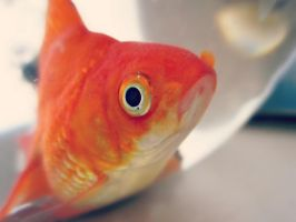 Gold Fish by Marianna9