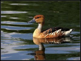 Fulvous Tree Duck by cycoze