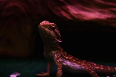Bearded Dragon by MidnightRarity