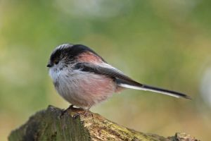 Long Tailed Tit 7 by cycoze