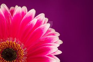 pink gerbera daisy flower by photographybypixie