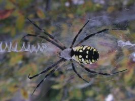 Yellow back spider #1 by rikumario