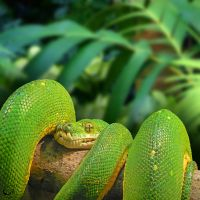 Green Tree Python by FauxHead