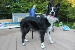 Border Collie STOCK 8 by Miahii