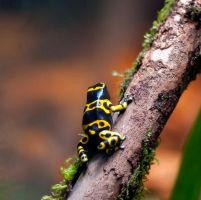 Poison Dart Frog 007 by Elluka-brendmer