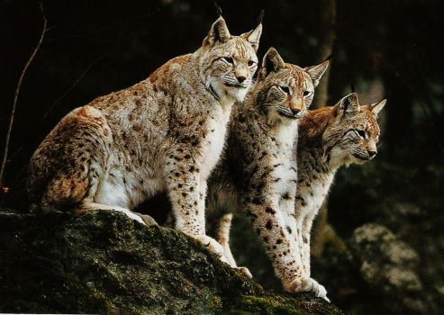 The boreal lynx in France by boodlemoo