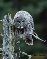 Great Gray Owl 2 by Les-Piccolo