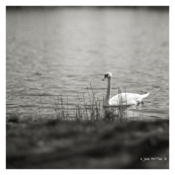 Study the Swan II by daschristkind