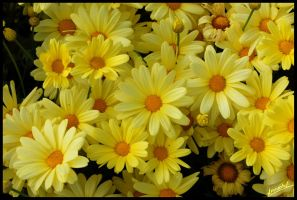 Yellow Flowers by amrodel