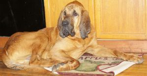 Bloodhound Stock 9 of 11 by Lovely-DreamCatcher