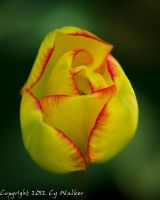 Yellow and Red Tulip by AstarothSquirrel