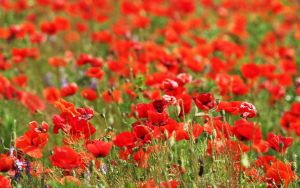 Wallpaper - poppy field by nicubunu