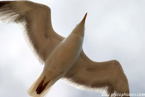 flying seagull by Philophobos