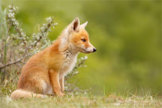 Fox Kit Lost in Thought by thrumyeye