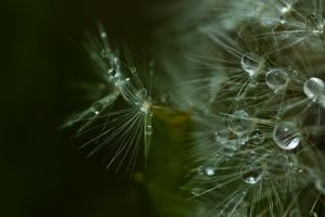 Dandelion after the rain by yamiyalo