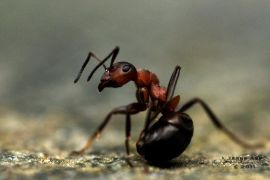 Ant by Azph