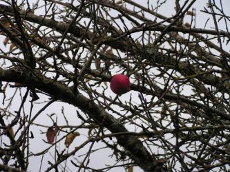 Winter Apple by Jerreth