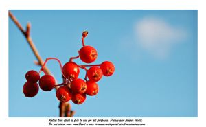 Rowan and  blue sky 3 by Mithgariel-stock