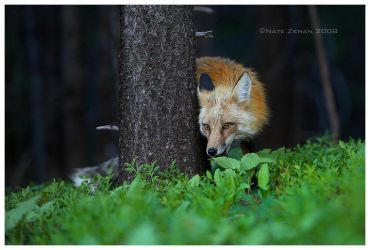 The Forest Fox by Nate-Zeman