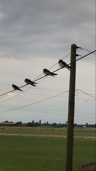 Swallows on a wire.  by Gman2