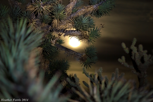 Moonlit Joshua Tree by Heather-Ferris