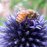 Honey Bee on Globe Thistle Flower by MissBuffySpears