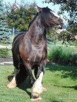 Spooking Gypsy Vanner - Stock by BHP-Stock