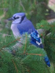 Painted Blue Jay by Tom-MacPherson