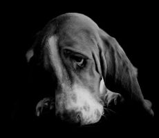Floyd the Basset Hound by BlackDogBarnyard