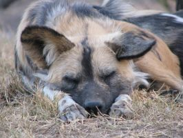 African Wild Dog ZZzzzzz by RedPangolin