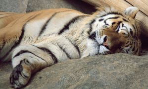 Tiger 2 by its-passion