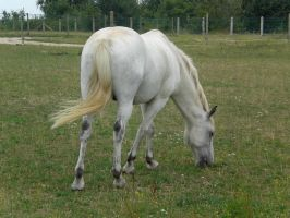 french horse 01. by greenleaf-stock