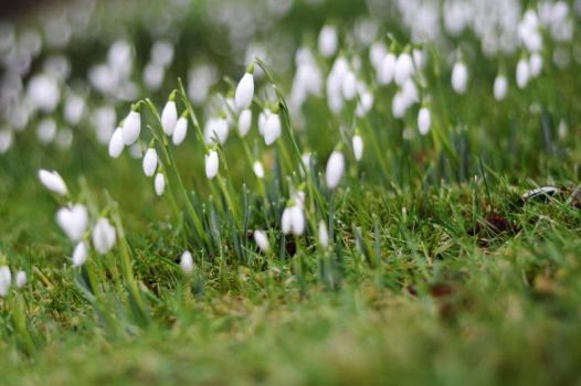 Years First Snowdrops by Tioc