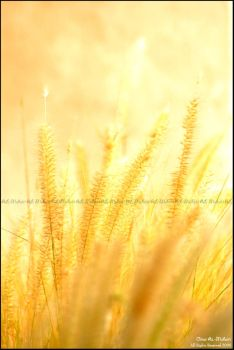 :: Fields of gold :: by al5aleej