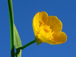 Meadow Buttercup by VBmonkey26