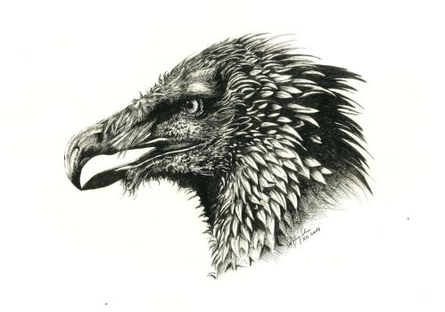 Bearded vulture by Concini