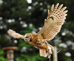 Tawny owl flight by Shadow-and-Flame-86