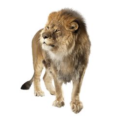 Angry lion on a transparent background. by ZOOSTOCK