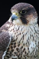Lanner Falcon by runique
