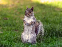 Curious Squirrel by Dracoart-Stock