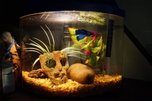 How a Betta Fish SHOULD Live! by OnyxBetta