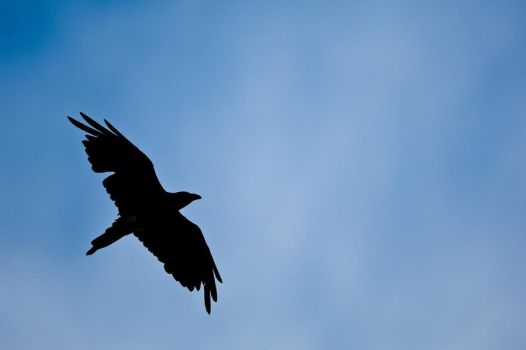 Raven In Flight 3 by cowanr6