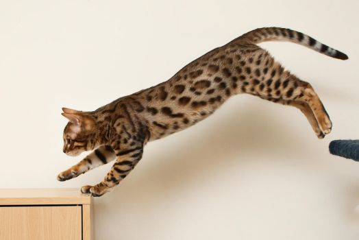 Image result for cat's leap