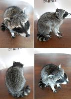 Young raccoon lifesize mount SOLD by DeerfishTaxidermy
