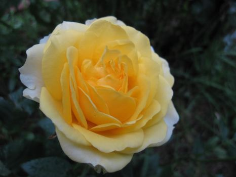 Yellow Rose 2 by MidnaXX-231