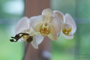 Moth Orchid by Art-ography