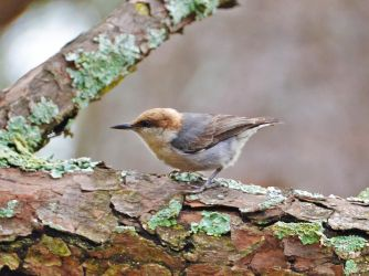 Brown-headed Nuthatch by Tailgun2009