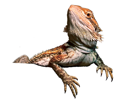 Bearded Dragon Cut-out by Very-Free-Stock