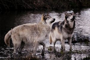 curious wolves by Yair-Leibovich